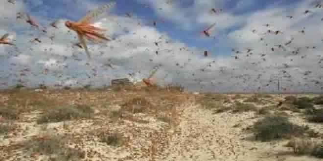 بني ملال : فلاحون متضررون من اجتياح الجراد لمحاصيلهم ببني ملال
